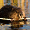 North American Beaver
