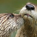North American River Otter - Lutra Canadensis