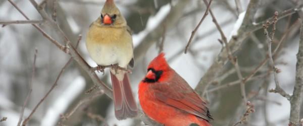Pair of Northern Cardinals
