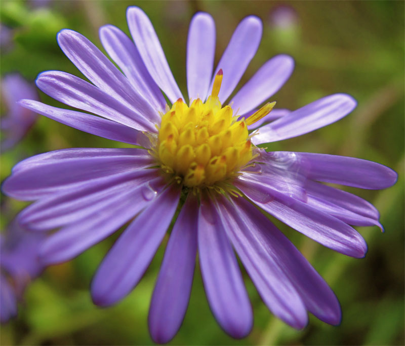 Asters Flowers Care Aster Flowers