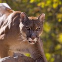 eastern-cougar-extinct