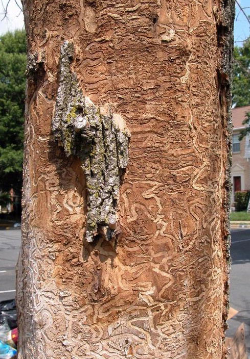 Destruction to ash tree caused by an emerald ash borer.