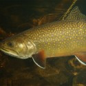 brook-trout-underwater