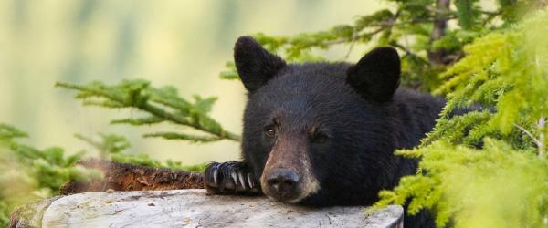 Adirondack black bear